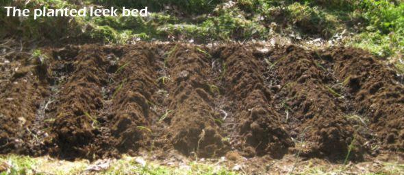 planted leek bed