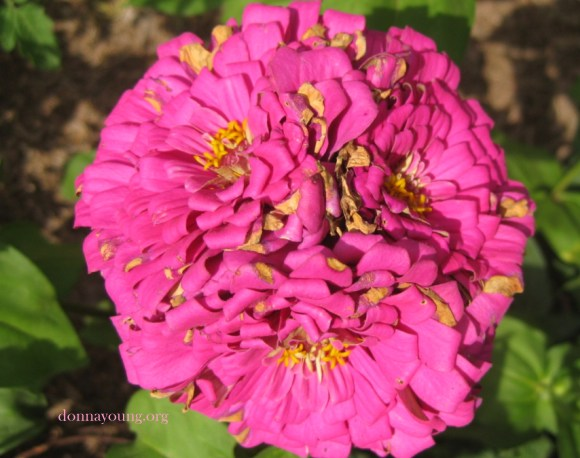 3-headed zinnia