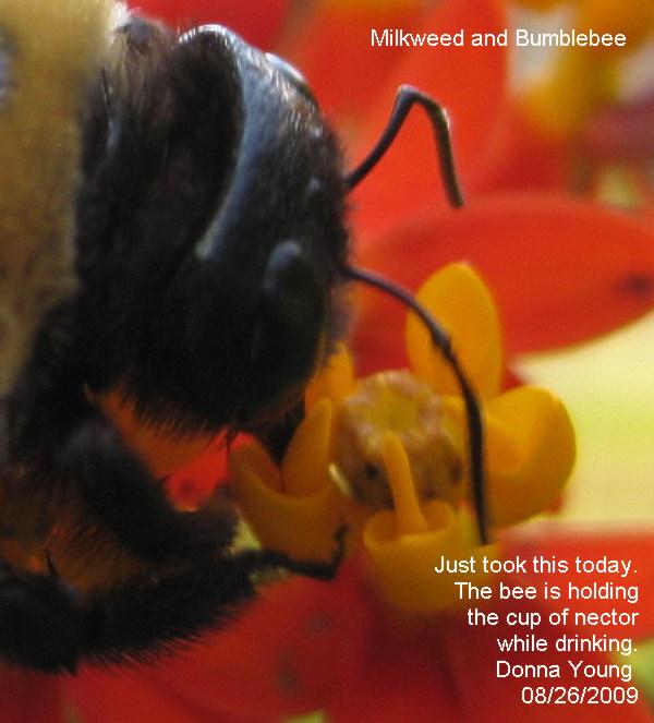 Bumblebee and Milkweed