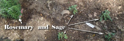 rosemary and sage, planted