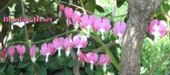 Bleeding Hearts are Blooming