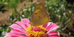 Orange Sulphur Wallpaper