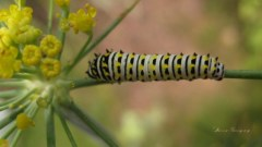 Swallowtail Caterpillar Computer Wallpaper