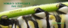 Pseudopods of the Monarch Caterpillar