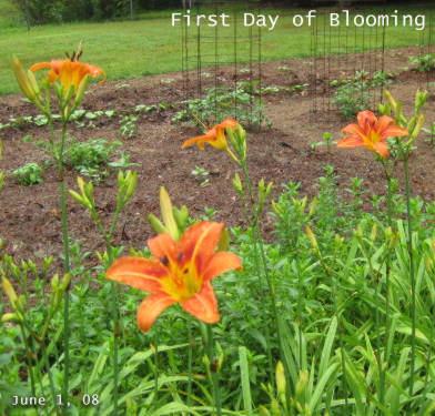 Daylilies June 1