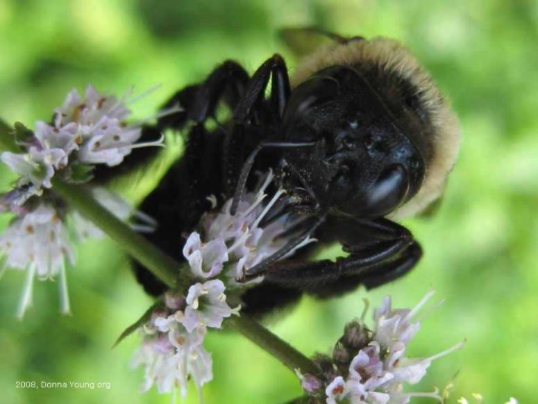Bumblebee Face