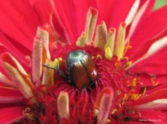 Beetle in the Zinnia