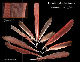 cardinal-feathers-dark