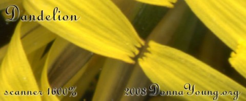 dandelion petals scanned 1600%