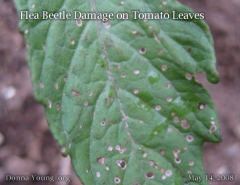 Aphids and Flea Beetles