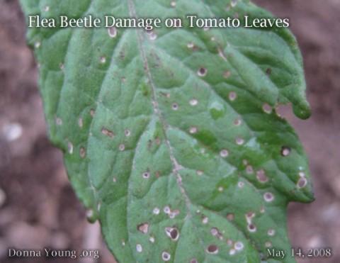 flea-beetle-damage