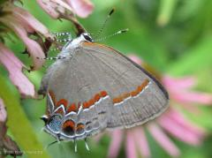 Hairstreak on Pink Zinnia