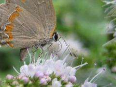 Cute Hairstreak