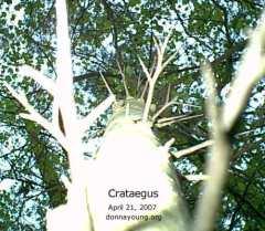 Crataegus Trunk