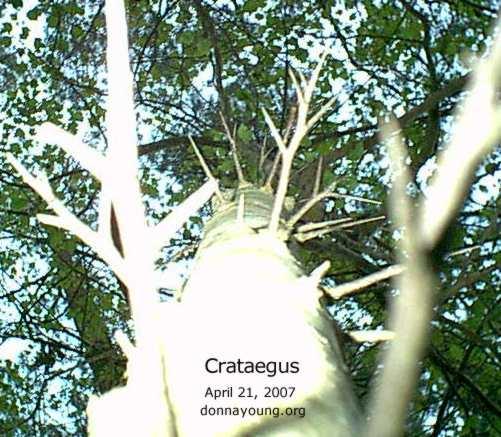 hawthorn_canopy-trunk