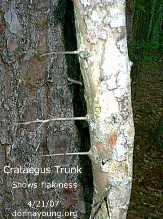 hawthorn_trunk-4