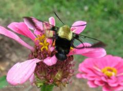 Snowberry Clearwing II