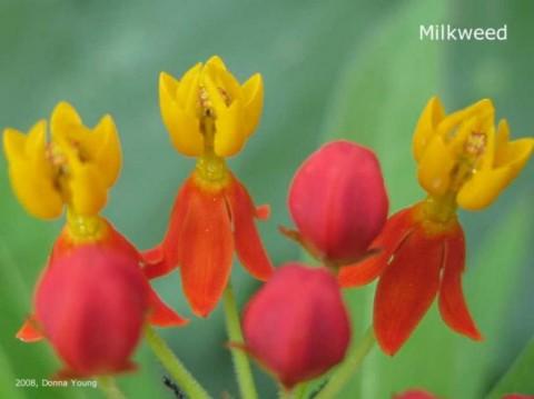 Milkweed Blooms