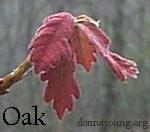 new-oak-leaves