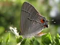 Hairstreak on Basil
