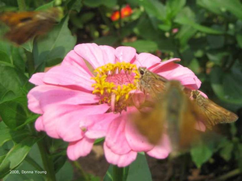 Skippers and a Zinnia