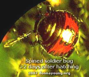 spined-soldier-bug