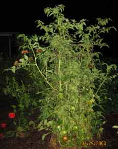 Tomatoes After Dark