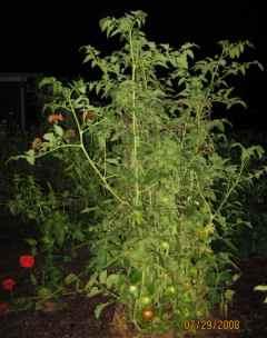 Park's Whopper Tomato Plant