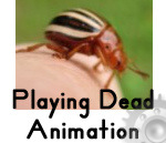 Video - Playing Dead by a False Potato Beetle