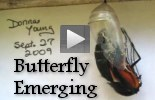 Videos - Monarch Butterfly Emerging